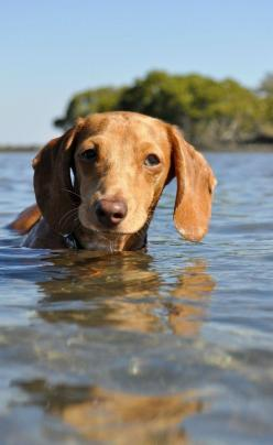 """""""My ears got wet and I'm not really sure how I'm supposed to feel about it."""": Входящие Яндекс, Confused Puppies, Funny Pictures Of Dogs, I M Supposed, Chi S Dachshunds Chiweenies, Animal, Weenie Dogs Funny, Puppies Learning"""