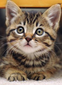 """""""One small cat changes coming home to an empty house to coming home."""" --Pam Brown: Kitty Cats, Animals, Sweet, Pets, Kitty Kitty, Chat, Tabby Kittens, Kitties"""