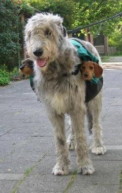 """""""We wire-hairs stick together, no matter what!"""" (seriously, wire-haired dachshunds and Irish wolfhounds are fricking adorable.) (via ZebraGang): Animals, Dogs, Irish Wolfhounds, Dachshund, Pet, Doxie, Funny, Friend"""