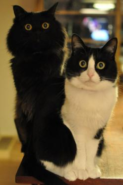 """◉ ◉ """"What do you mean we are out of kitty treats?"""" ◎ ·̫ ◎: Cats, Kitty Cats, Animals, Meow, Kittens, Black, Eye"""