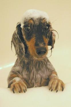 """What happened to the running water!"" #dogs #pets #Dachshunds Facebook.com/sodoggonefunny: Teckels Doxies Dachshunds, Animals, Dachshund Doxie Wienie, Dapple Doxies, Doxie S, Bathtime, Shampoo, Bath Time"