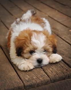 45 Beautiful Images Lovely Maltipoo | Best Pictures: I Want, Cute Puppies, Dogs, Sweet, Pets, Puppys, Baby, Lhasa Apso, Animal