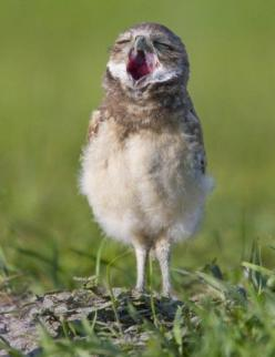 A sleepy looking  burrowing owl is photographed after leaving its underground burrow in Florida.  Mommmmmmmy!: Burrowing Owl, Animals Kingdom, Jehovahs Kingdom, Jehovahs Creation, Photo, Birds, Kingdom Songs, Jehovah S Creation, Owls