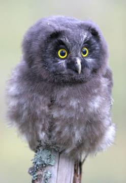 A Tengmalm's owl young (South Finland): South Finland, Tengmalm S Owl, Tengmalm Owl, Animals, Birds Owls, Baby Owls, Owl