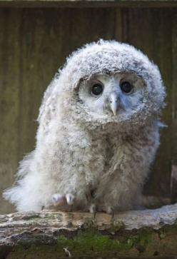 """A wise old owl sat on an oak; The more he saw the less he spoke; The less he spoke the more he heard; Why aren't we like that wise old bird?""  ~unknown: Babies, Fluffy Owl, Animals, Baby Owls, Things, Birds"