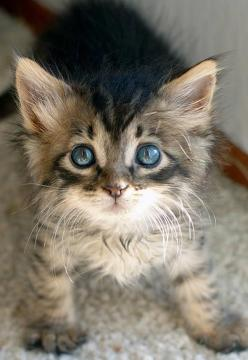 Adorable . How cute! Receive a $1000,- Petco giftcard for free now! ❤: Kitty Cats, Animals, Pet, Kitty Kitty, Blue Eyes, Kittens, Kitties