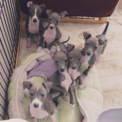 Adorable Italian Greyhound Puppies ♡ 》@nikiruti's.  Check out the ears on the one in the middle  :D: Italian Greyhound, Whippet Dog Puppy, Baby, Greyhound Puppys, Italiangreyhound, Animal