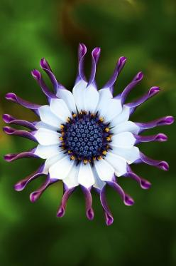 african daisy: Nature, Beautiful African, Daisies, African Daisy, Beautiful Flowers, Flowers, Garden, Africans