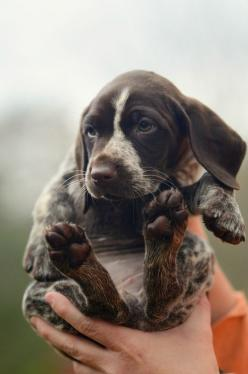 airstream-smile:  via imgfave for iPhone: Animals, Dogs, German Shorthaired Pointer, Pet, Puppys, Puppy, Baby, Friend