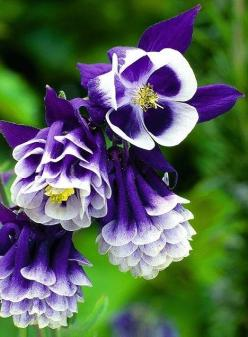 Aquilegias.  Beauty.  He created it all!  Each petal has His signature.  Thank You, Father!: Aquilegias Columbine, Purple Flowers, Pretty Flowers, Beautiful Flowers, Flowers Garden, Flower