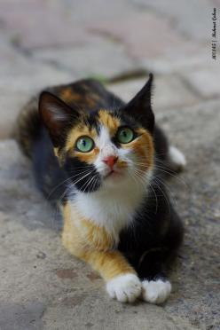 Autumnleaf, she-cat, is wise and agile. Very loyal and knows the code almost like it was a part of her.: Kitty Cats, Beautiful Cats, Cats Calico, Calico Cats, Pretty Kitty, Animal