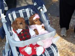 Baby Dachshunds in baby clothing~the things we do to our doxies....and they still love us!! lol: Animals Dogs Cats, Babies, Baby Clothes, Doxies, Baby Dachshunds, Puppy, Baby Clothing, Things, Photo