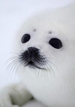 ~~baby seal ~ by Alexander Zemlianichenko~~: Adorable Seal, Harp Seals, Beautiful Eyes, Baby Animals, Baby Harp, Baby Seals
