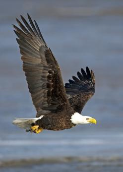 Bald Eagle in flight By gary samples This photo was taken on February 3, 2011 using a Canon EOS-1Ds Mark II.: Birds Of Prey, Raptor Birdsofprey, Eagles Pictures, Birds Eagles, Bald Eagles In Flight, Canon Eos, Birds I Have Seen, Pictures Of Eagles, Birds