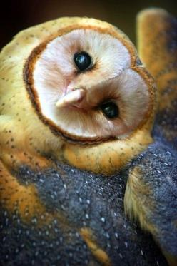 Barn Owl (native to almost everywhere in the world except polar and desert regions, Asia north of the Alpide belt, most of Indonesia and the Pacific islands): Animals, Nature, Beautiful, Creatures, Children, Barnowl, Birds, Barn Owls