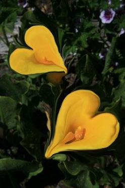 Beautiful CallaLily Hearts ~by Sari Vaananen: Callalily Hearts, Calalily Hearts, Yellow Heart, Beautiful Flowers, Calla Lilly, Beautiful Callalily, Garden, Hearts Calla, Calla Lily