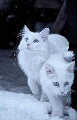 Beautiful Cute White Kittens www.livewildbefree.com Cruelty Free Lifestyle & Beauty Blog. Twitter & Instagram @livewild_befree: Kitty Cats, Snow Cats, Kitten, Animals, Jessica Tekert, White Cats, Photo