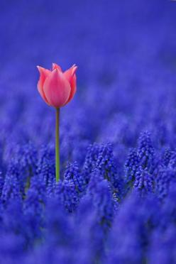 beautifully alone.-  I can learn to mature in all kinds of situations as long as I strive to see the beauty in it.: Colour, Nature, Color, Blue, Quote, Beautiful, Flowers, Garden, Pink Tulip
