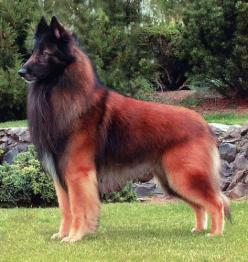 Belgian Tervuren sheep dog: Belgian Tervuren, Tervuren Shepherd, Animals, Dogs Animal, Belgian Shepherd, German Shepherds, Dog Breeds, Beautiful Dogs