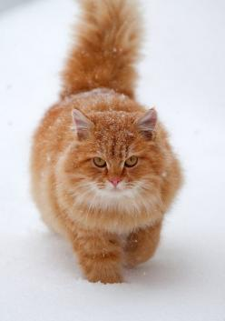Big, fluffy orange cats are my favorite.  I have one just like this little guy and I love him to death.  Orange cats have very special, loving and funny personalities.  They are truly unique and can convert even die-hard cat haters into cat lovers.: Beaut