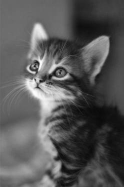 Black and white photography perfectly captures the innocence of this kitten.: Kitty Cats, Animals, Sweet, Pet, Baby, Kittens, Eye