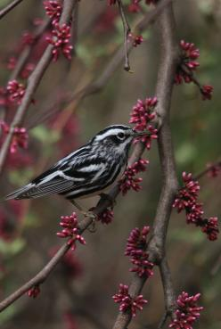 black and white warbler | bird + wildlife photography: Birds Birds, Blackandwhite, Black And White, Birds I Ve, Backyard Birds, Birds Eye, Beautiful Birds, Photo