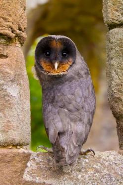Black Barn Owls are rare but beautiful!  Typically, they are found in Europe.: Animals, Birds Owls, Creature, Children, Barnowl, Melanistic Barn, Barn Owls
