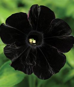 black cat petunia (SO pretty!): Black Cats, Black Flowers, Beautiful Flowers, Black Velvet, Garden, Petunias, Cat Petunia