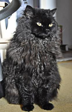 Black Selkirk Rex I think if I got a male cat of this breed and let lullaby and him have a little of kittens and then get them both fixed that they would make beauuuutttiful babies. I would keep one of their kittens and then see who wanted the others of c