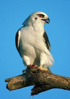 Black-shouldered Kite, Elanus axilarus: Kite Elanus, Birds 1, Birds Raptors Kites, Aves Birds, Beautiful Birds, Animals Birds, Birds Accipitriformes Eagles, Photo