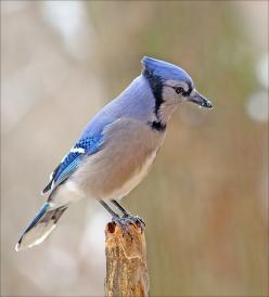 Blue Jays - Love feeding these guys peanuts - so much fun!: Bluejays Cardinals, Front Yards, Birdwatching, Fine Feathered, Blue Jay, Photo