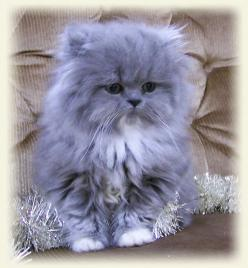 Blue tabby persian | red tabby white persian shaded silver persian: Cats, Persian Kittens, Himalayan Kittens, Kitty Kitty, Christmas Cat, Himalayan Cat, Persian Cat, Animal