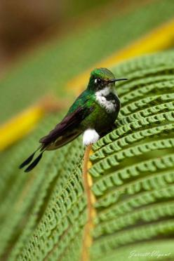 Booted Racket-tail - Mindo Cloud Forest, Ecuador | Flickr - Photo Sharing!: Tail Mindo, Photo, Hummingbirds, Animal