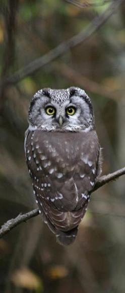 Boreal Owl - With head turned all the way around.: Birds Owls, Turned 180, Owl, Boreal Owl, Owl, Animal