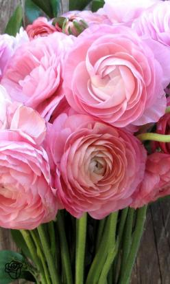 Brilliantly colored Ranunculus ~ prized for their highly ruffled flowers: Idea, Bouquets Simplified, Pink Ranunculus, Beautiful Flowers, Beautiful Pink, Bouqs Bouquets, Flowers, Favorite Flower