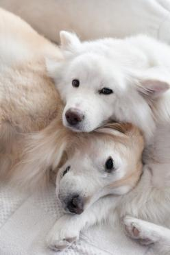 Buddies: Doggie, Animals, Dogs, Sweet, Pets, Adorable, Puppy, Golden Retriever, Furry Friends
