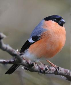 Bull Finch looks very pretty.Please check out my website thanks. www.photopix.co.nz: Bird Bullfinch, Birds Finches, Bird Finches, Beautiful Birds, Bull Finch, Beautiful Creatures