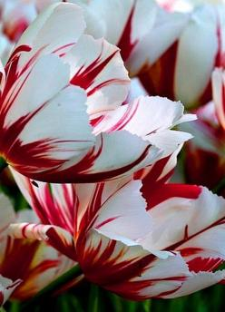 Candycane tulip ... I have these in my flower beds, they are gorgeous!: Candycane Tulip, Cane Tulips, Candy Canes, Beautiful Flowers, Bloom, Garden, White Tulip, Favorite Flower