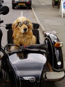 Canine Sidecar... I should get a bike when I'm done carpooling the kids in a few more years, my lab would LOVE this!: Animals, Dogs, Golden Retrievers, Pet, Sidecar, Puppy, Funny Animal, Friend