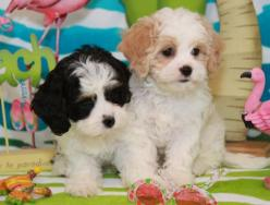 Cavachon Breeders | Available Cavachon Pups | Cavachons For Sale: Cuddly Cavachons, Cavachons I D, Cavachons Just, Cavachon Cuties, Cavachon Breeders, Cavachon Dog, Cavachon Puppies, Cavachons Puppies, Pups Cavachons
