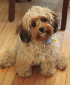 Cavapoo (Cavalier King Charles Spaniel Poodle): Pups, Animals, Pets, Dogs Puppies, Box, Things, Cavapoo Puppy, Board