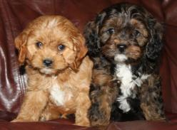 """Cavapoo  The Cavapoo, also known as the Cavadoodle, is created by the crossing of two breeds: Cavalier King Charles Spaniel and Poodle. They are often referred to as """"designer dogs"""" and have become popular family companions.: Doggie Doodlin, Cavap"""