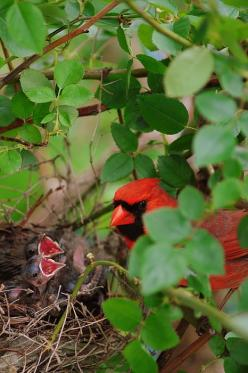 checking in on his chicks. (1) From: Fine Art America (2) Webpage has a convenient Pin It Button: Baby Birds In Nest, Cardinal Birds, Bird Cardinals, Baby Cardinals