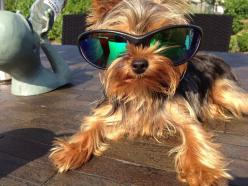 Chelsea | A community of Yorkshire Terrier lovers!: Yorkies How, Yorkshire Terrier, Yorkies Morkies, Animals Yorkie, Yorkies Mypassion 3, Yorkies The
