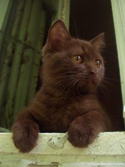 Chocolate kitty.  So pretty.: Kitty Cats, Animals, Chocolates, Kitty Kitty, Kittens, Brown Kitten, Chocolate Kitty, Brown Cat