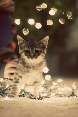 "Christmas kitty! I looked at the picture and in my head said ""Christmas Kitty!"" then looked at the comment and someone had already said that.. cat people are so weird. me included: Christmas Cats, Kitty Cats, Animals, Pet, Christmas Lights, Christ"