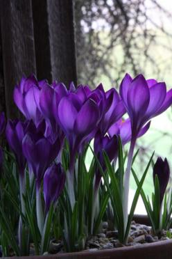 ...Crocus= Work indoors when forced or outdoors. Bloom is Very Early. They are beautiful but short season. You need lots for effect! Zone 5, IL: Purple Flowers, Beautiful, Purple Passion, Color Purple, Things Purple, Purple Crocus, Spring, Garden