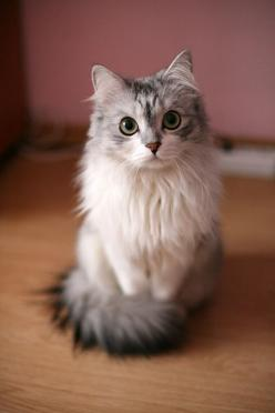 Cute Kitty! makes one wonder what they are thinking about when they are looking at you like this cat is.: Beautiful Cat, Kitty Cats, Animals, Kitten, Sweet, Pet, Pretty Cat, Pretty Kitty, Eye