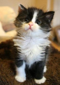 cute tuxedo foster kitten pippin is creative inspiration for us. Get ... #Accessories - more at Catsincare.com: Kitty Cat, Animals, Sweet, Kitty Kitty, Cats Kittens