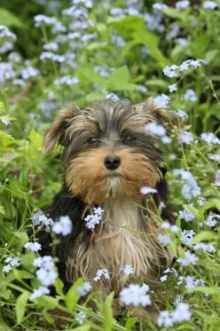 Cute Yorkie enjoying the garden • too cute: Doggie, Animals, Puppies, Dogs, Yorkie, Pets, Puppy, Adorable, Flower